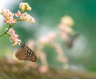 Beautiful Blue Glassy Tiger butterfly in a garden Royalty Free Stock Photo