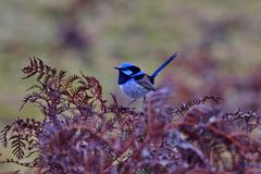 Beautiful blue gleams on superb fairy wren in Tasmania. Beautiful blue of superb fairy wren bird in Tasmania stock photo
