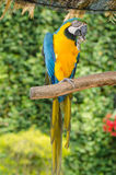 Beautiful blue and gold macaw parrot eating feed Stock Photo