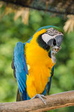 Beautiful blue and gold macaw parrot eating feed Royalty Free Stock Photography