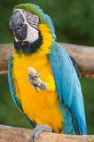 Beautiful blue and gold macaw parrot eating feed Royalty Free Stock Photos