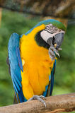 Beautiful blue and gold macaw parrot eating feed Royalty Free Stock Image
