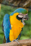 Beautiful blue and gold macaw parrot eating feed Stock Photos