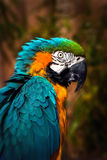 Beautiful Blue and Gold Macaw - Parrot Portrait. Beautiful Blue and Gold Macaw - Colourful Parrot Portrait Stock Photo