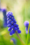 Beautiful Blue Grape Hyacinth flower Royalty Free Stock Image
