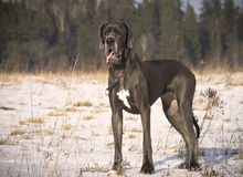 Beautiful blue Great Dane dog standing. Blue and young Great dane dog showing tongue on winter field Stock Image