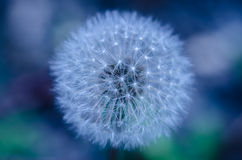 Beautiful blue and green abstract dandelion Royalty Free Stock Photos