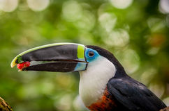 Beautiful blue green red white black toucan bird. Beautiful red blue green red white black toucan bird on a tree branch Stock Photo