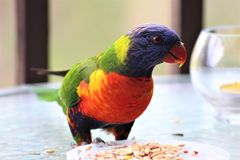 Beautiful colorful lorikeet eating seeds royalty free stock photos