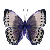 Beautiful Blue and Grey Butterfly (Cambodia Junglequeen in fancy Stock Photo
