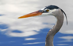 Beautiful Blue Heron Bird in Florida Stock Photo
