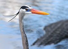 Beautiful Blue Heron Bird in Florida Stock Image
