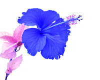 Beautiful blue Hibiscus flower Stock Images