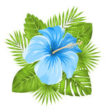 Beautiful Blue Hibiscus Flowers Blossom And Tropical Leaves Stock Image