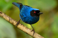 Beautiful blue hummingbird on a branch Royalty Free Stock Images