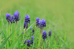 Beautiful blue hyacinth flowers Royalty Free Stock Photo