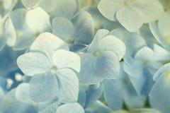 Beautiful blue hydrangea Stock Image