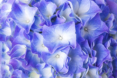 Beautiful blue hydrangea flower Royalty Free Stock Images