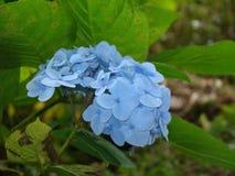 Hydrangea flower royalty free stock photo