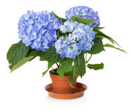 Beautiful blue hydrangea flower Stock Image