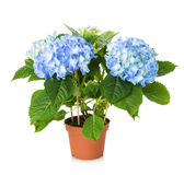 Beautiful blue hydrangea flower in pot Stock Photography