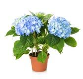 Beautiful blue hydrangea flower in pot Stock Photography