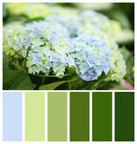 Beautiful blue hydrangea flowers, closeup. Natural color palette for interior or fashion design. And art stock images