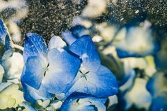 Beautiful blue hydrangea flowers under raindrops. Close-up royalty free stock images
