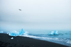 Beautiful blue icebergs on the beach with black volcanic sand Royalty Free Stock Photo