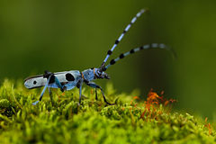 Beautiful blue incest with long feelers, Rosalia Longicorn, Rosalia alpina, in the nature green forest habitat, sitting on the gre Royalty Free Stock Photography