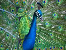Beautiful blue Indian peacock looking for a mate. royalty free stock photography
