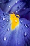 Beautiful blue iris with drops closeup shot Stock Images