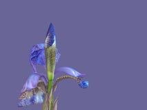 Beautiful blue iris flower Stock Photo