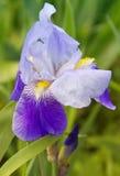 Beautiful blue iris. Summer flower. Stock Photo