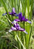 Beautiful blue iris. Summer flower. Stock Photography