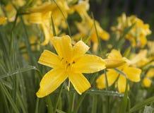 Beautiful blue iris. Summer flower. Stock Photos