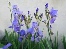 Wonderful blue irises in June. Beautiful blue irises in full bloom, in summertime, giving away soft aroma, presence of abundant natural splendor, a real gift Stock Photography