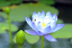 A beautiful blue lighwaterlily or lotus flower Royalty Free Stock Photos