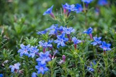 A beautiful blue Lithodora in a green soil background. Beautiful blue Lithodora flower with long green leaves, growing in the Euroflora flower exhibition in stock images