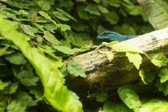 Beautiful blue lizard royalty free stock photography