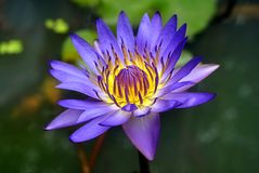 Blue lotus on the dark water Royalty Free Stock Photos
