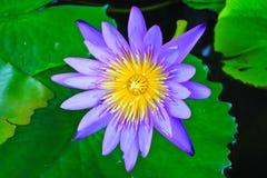 Beautiful blue lotus Stock Image