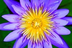 Beautiful blue lotus Royalty Free Stock Photography