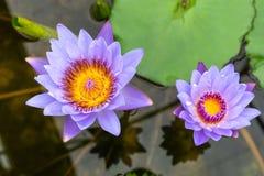 Beautiful blue lotus with yellow pollen Stock Photos