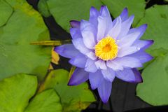 Beautiful blue lotus with yellow pollen Stock Images