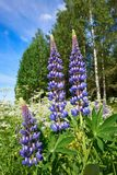 Colorful blue Lupin Royalty Free Stock Images