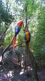 Beautiful blue macaws on a tree stock image