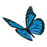 Beautiful Blue Monarch Butterfly