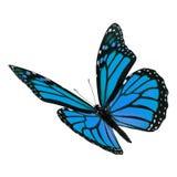 Beautiful blue monarch butterfly Stock Image