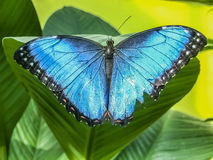 A beautiful blue morpho butterfly perched on a leaf stock image